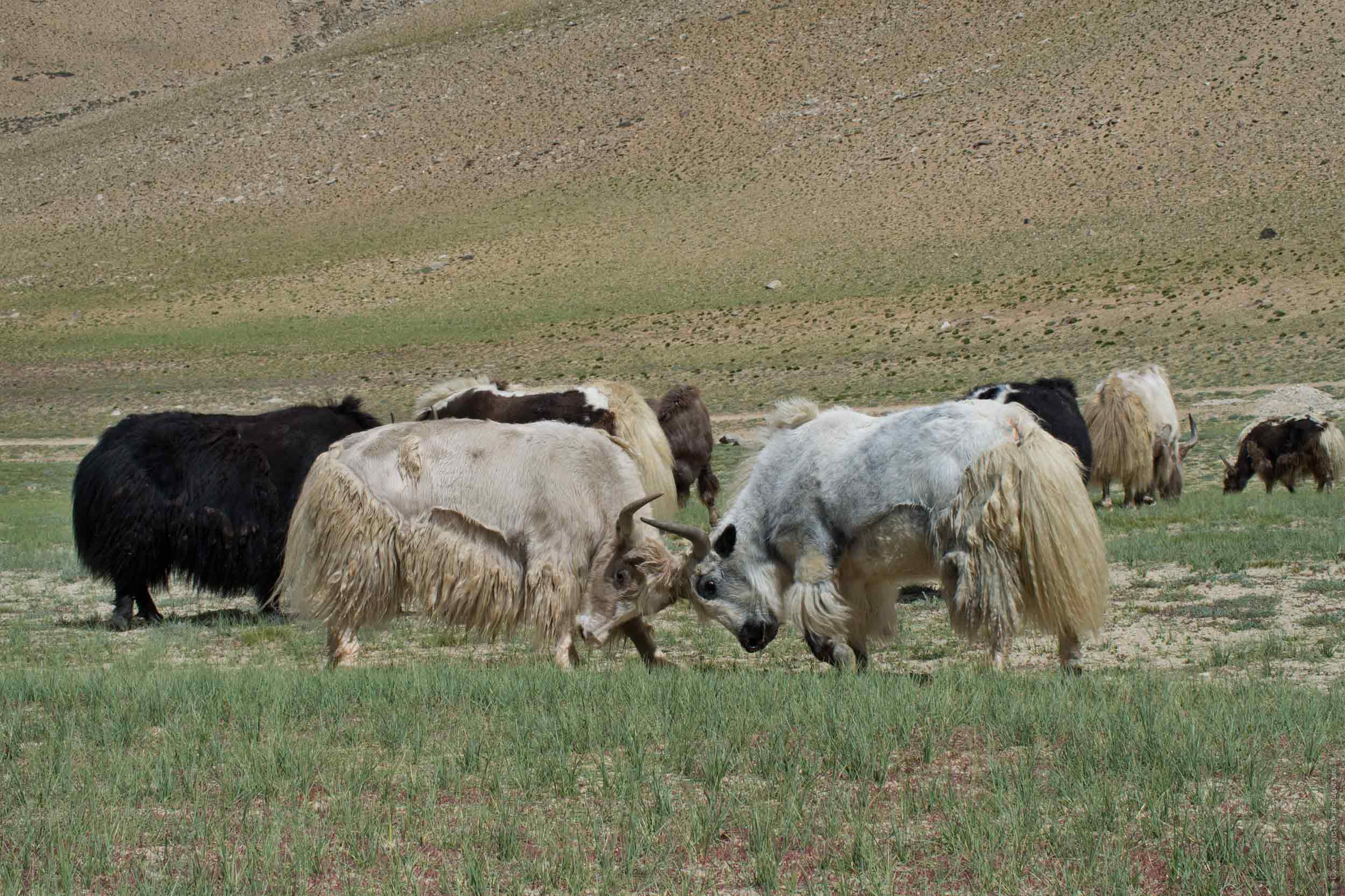 Tibetan yaks. Tour Tibet Lakeside Advertising: Alpine lakes, geyser valley, Lamayuru, Colored Mountains, 01 - 10.09. 2021 year.
